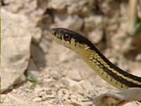 Les couleuvres rayées de Narcisse (Thamnophis) 20-serpents-proche