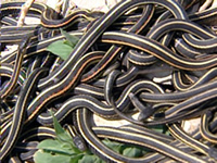 Les couleuvres rayées de Narcisse (Thamnophis) 20-serpents