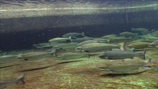 Le saumon de la baie de Fundy