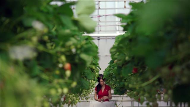 Des fraises d'hiver en serre