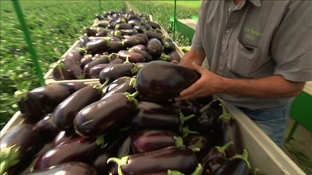 La culture de l'aubergine