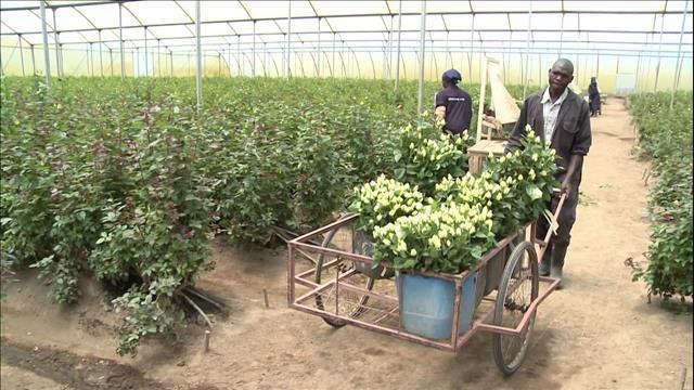 Kenya - Un lac tué par les roses