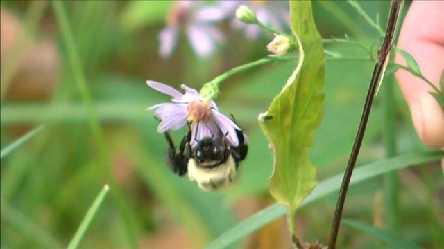 Bourdons : déclin des abeilles sauvages