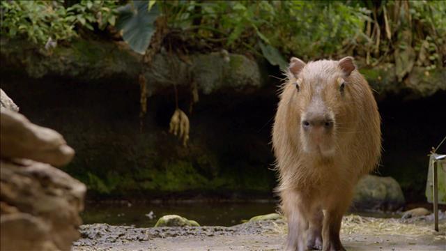 Le capybara du Biodôme (2015-07-24)