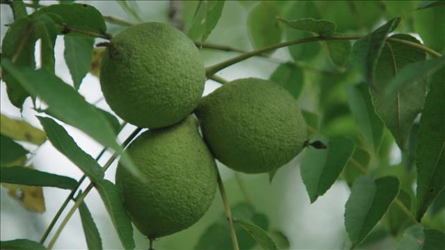 Les noix du Québec