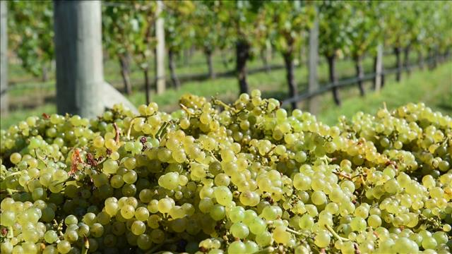 Le vin du Marlborough