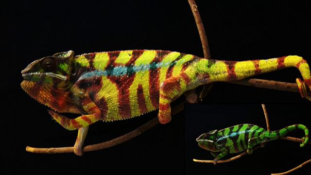 Flash-science: La peau du caméléon