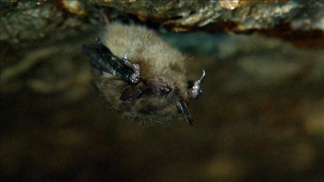 Chauves-souris menacées