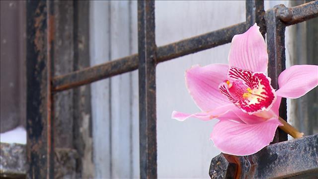 Rose et les orchidées