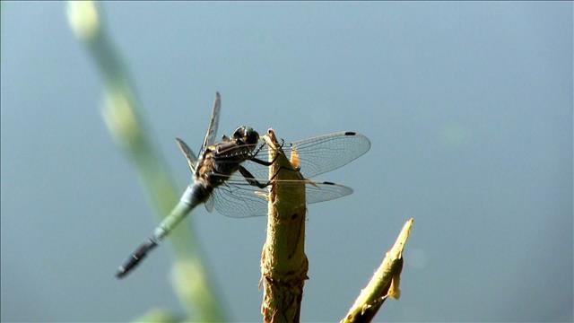 Passion libellules