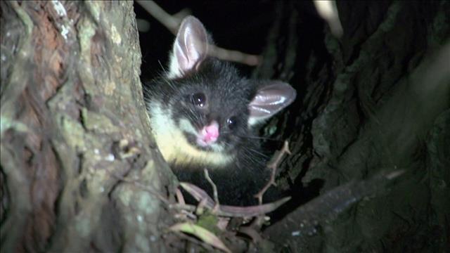 L'opossum envahisseur