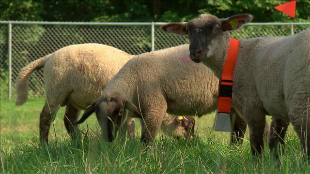 Des moutons au travail