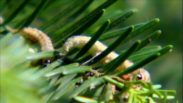 La tordeuse des bourgeons de l'épinette