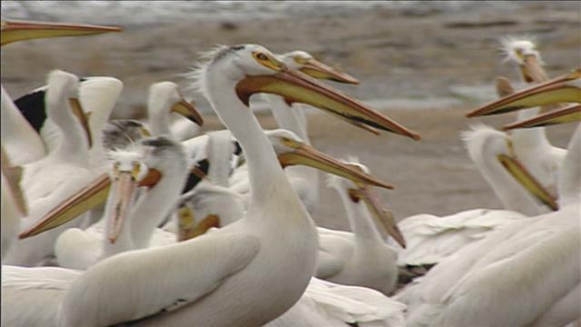 Aide-mémoire: Oiseaux   migrateurs,100 ans