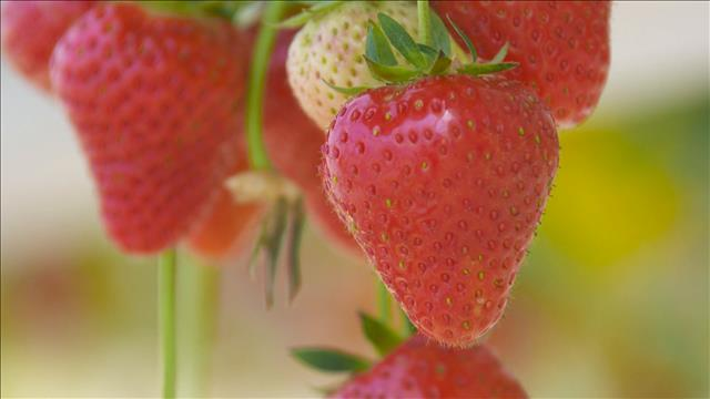 produit vedette fraises la frissonnante