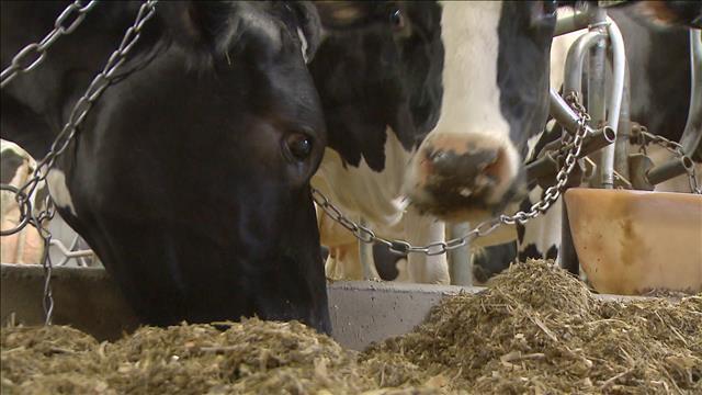 Des vaches moins polluantes