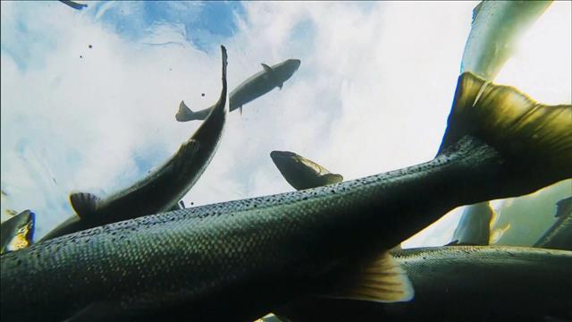 Des saumons sur la terre ferme