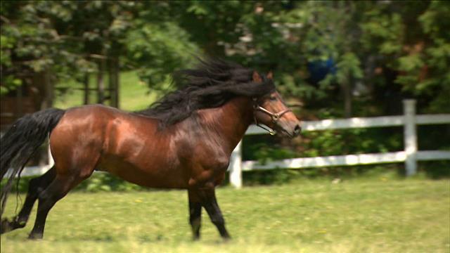 Le cheval canadien