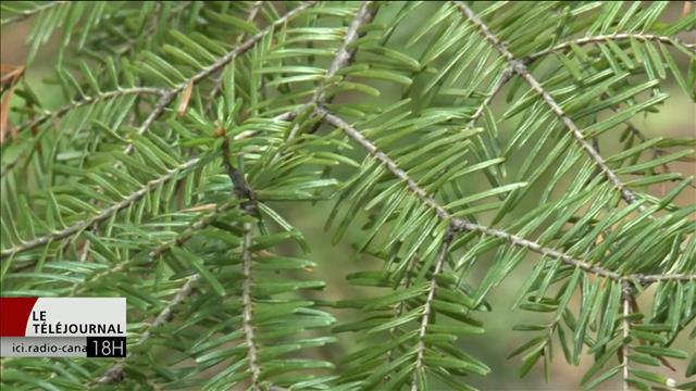 Retour de la tordeuse du bourgeon de l'épinette au Nouveau-Brunswick