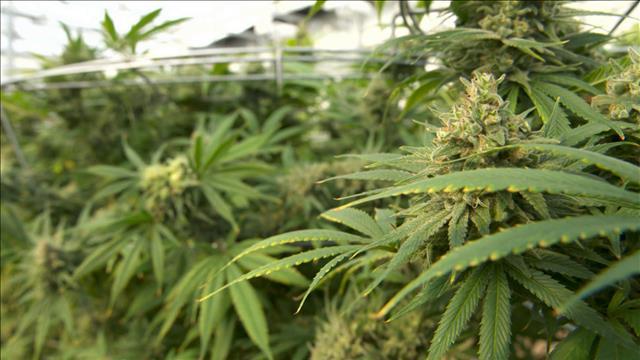 Cannabis thérapeutique