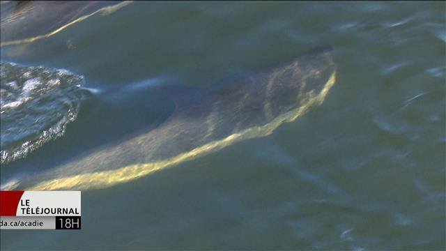 Des secours sont attendus mercredi pour les dauphins de Lamèque