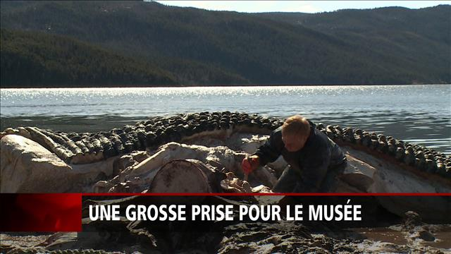Baleine échouée à Terre-Neuve : une grosse prise pour le musée