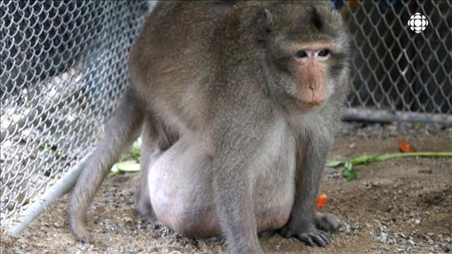 Un singe obèse au régime