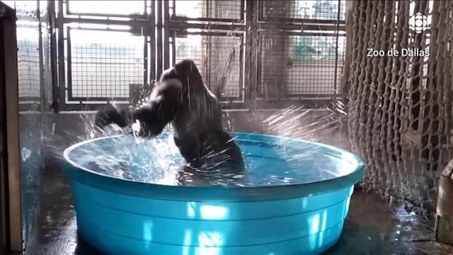 Le gorille Zola danse dans son bain
