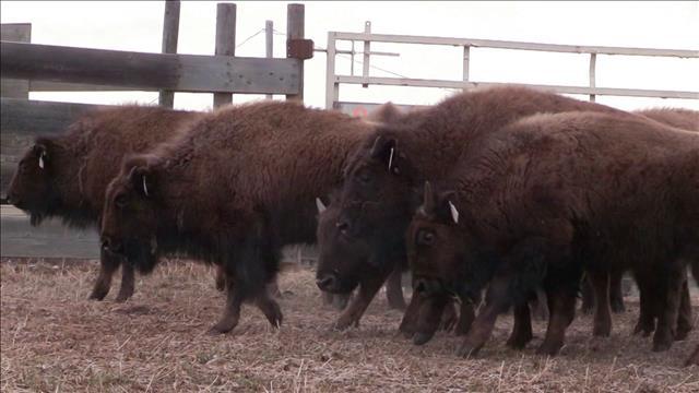 Les bisons des Pieds-Noirs