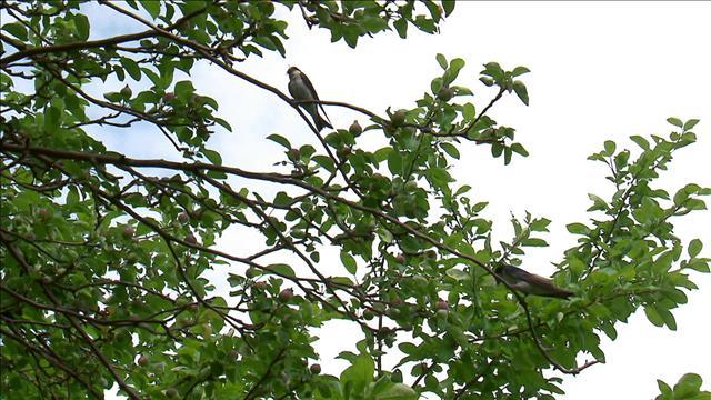 Déclin des oiseaux champêtres