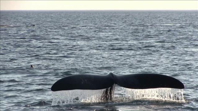 Baleines noires