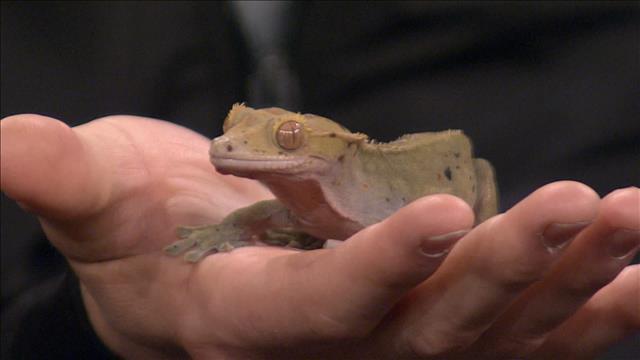 Chronique de Joanie Asselin sur le Gecko à crête
