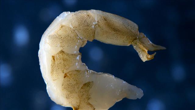 Des bactéries dangereuses dans les crevettes