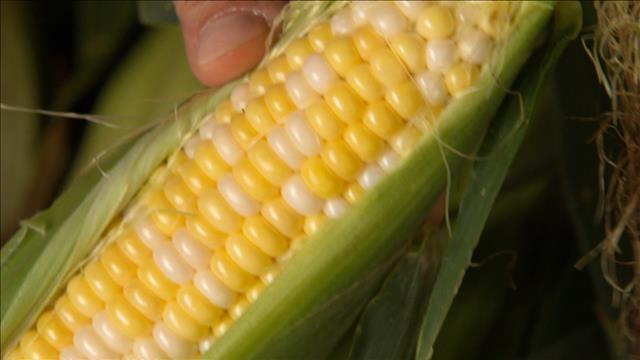 Tout sur le maïs du Québec