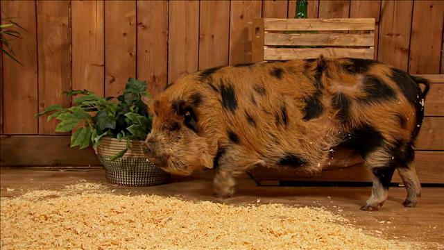 Rencontrez Fern, le cochon Kunekune