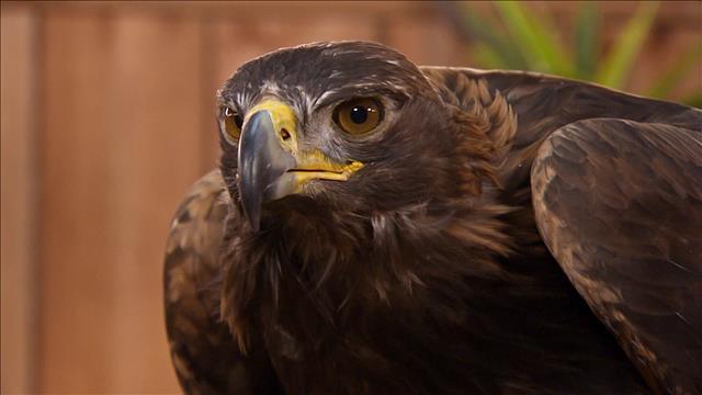 Un spécimen très imposant : l'aigle royal.