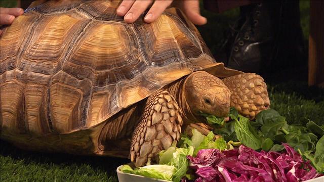 Petites et des grandes tortues