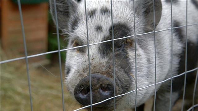 De la zoothérapie avec des cochons
