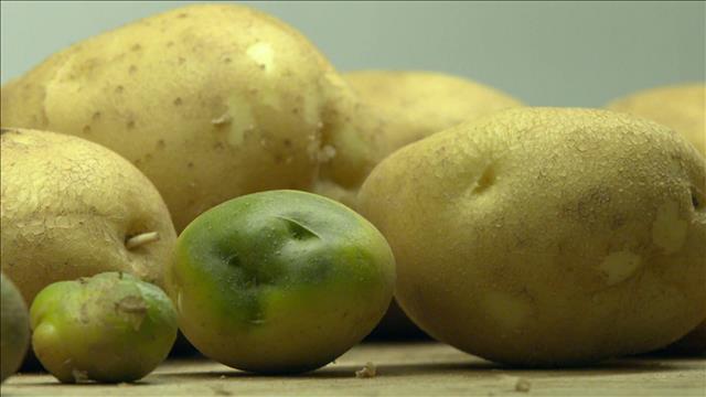 Bonnes à manger, les pommes de terre vertes ?