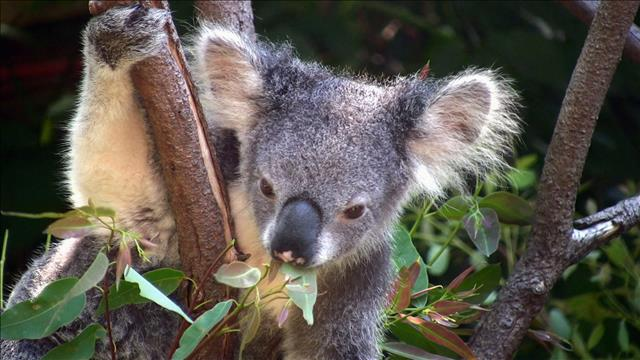 <strong>Flash-Science : Les koalas ont soif</strong>