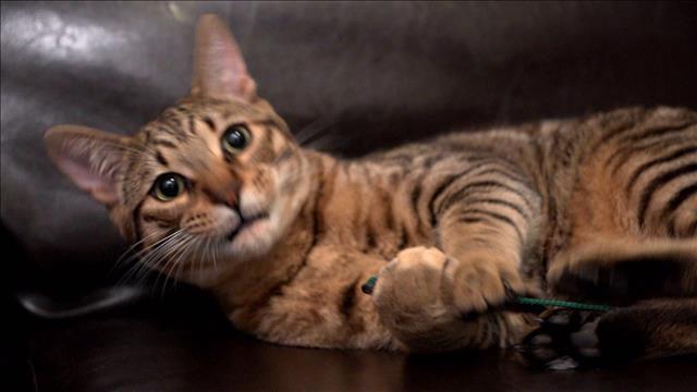 Floués par un éleveur de chats sans scrupules