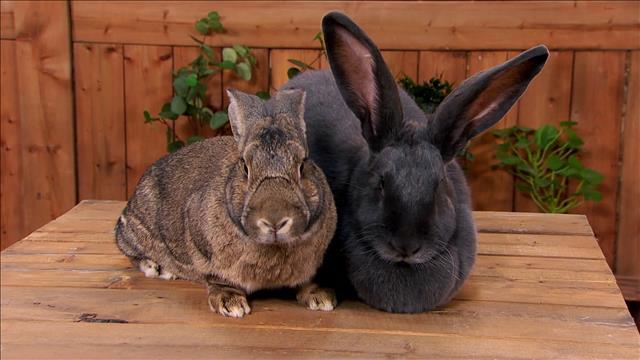 Marie-Ève rencontre deux lapins géants des Flandres
