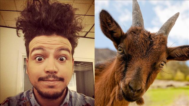 L'animal miroir de Mehdi Bousaidan est la chèvre miniature