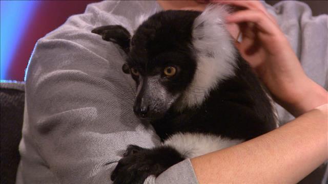 Un lémur vari noir et blanc