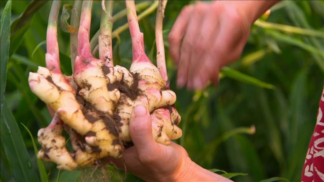 Du gingembre cultivé au Québec