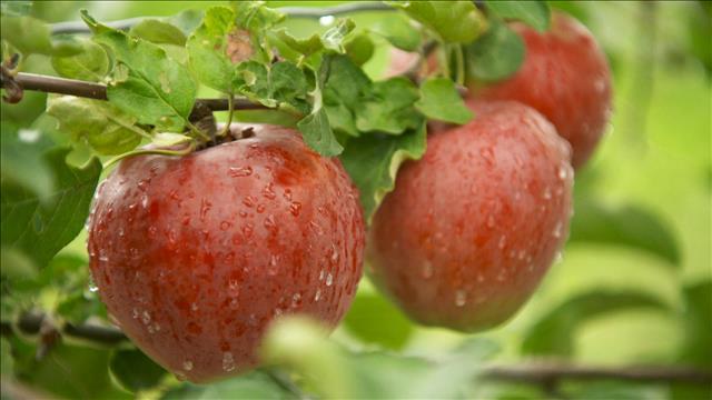 Les pommes de demain