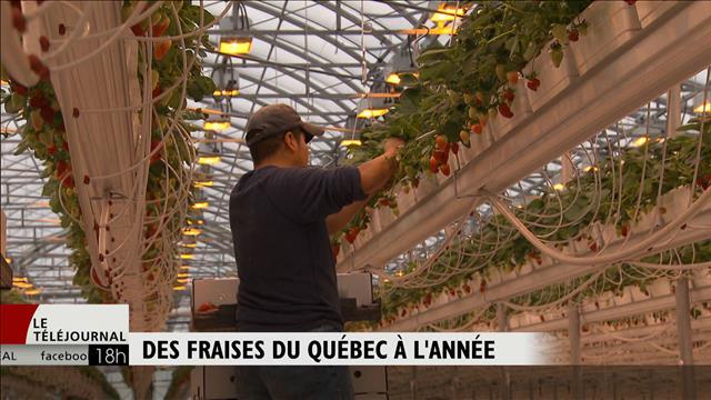 Des fraises du Québec à l'année