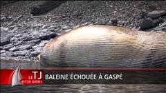 Une carcasse de baleine retrouvée sur les berges de Gaspé