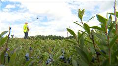 Un drone pour faire avancer la recherche sur les bleuets