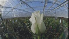 Capsules web Product - La rose